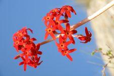 Free Maximowiczii Flowers Royalty Free Stock Photos - 14860338