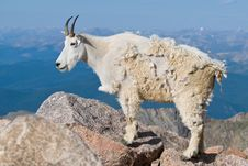 Free Mountain Goat Royalty Free Stock Images - 14860349