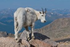 Mountain Goat 2 Stock Photography