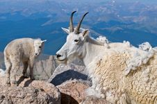 Mountain Goat Mother And Baby 2 Royalty Free Stock Images