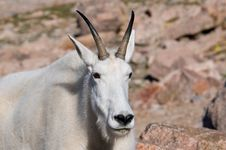 Free Mountain Goat 5 Royalty Free Stock Photo - 14860785