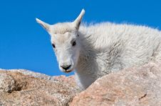 Baby Mountain Goat Stock Photo