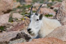 Free Mountain Goat 7 Stock Photo - 14860910