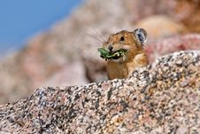 Free Pika Foraging For Food Royalty Free Stock Images - 14860919