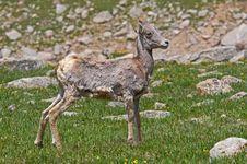 Big Horn Sheep Lamb Royalty Free Stock Images