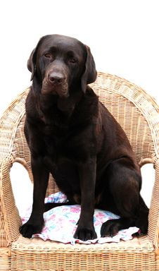 Free Cute Choccie Labrador Royalty Free Stock Image - 14861006