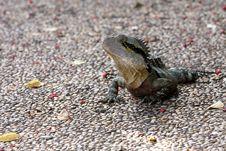 Free Lizard Royalty Free Stock Photography - 14861027