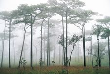Pine Forest And The Mist Royalty Free Stock Photos