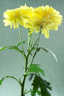 Free Yellow Chrysanthemums Stock Photography - 14861582