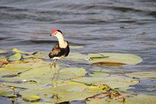 Free Jacana Bird Stock Photos - 14861933