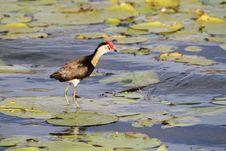 Free Jacana Bird Stock Photography - 14861982