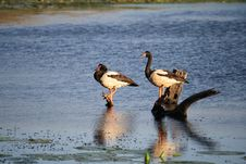 Beautiful Magpie Geese Royalty Free Stock Images