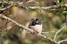 Free Baby Birds In Nest Royalty Free Stock Photos - 14862168
