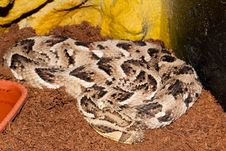 Free Puff Adder In Terrarium Royalty Free Stock Photography - 14862477