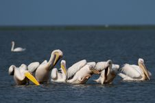 Great White Pelicans Flock Royalty Free Stock Image