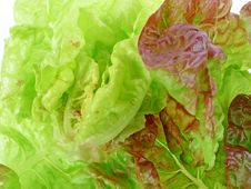 Leafs Of Garden Lettuce Stock Photography