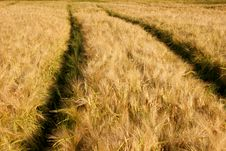 Free Barley Field Stock Photography - 14864602