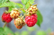 Free Ripe Raspberries In The Garden Stock Image - 14865431