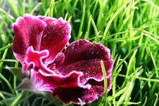 Free Red Geranium Stock Photo - 14866030