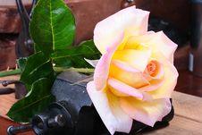 Free Rose Royalty Free Stock Image - 14866196