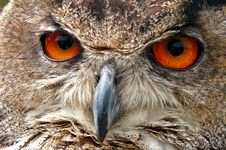 Free European Eagle Owl Face Closeup Stock Image - 14866291