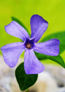 Free Periwinkle Royalty Free Stock Photography - 14866757