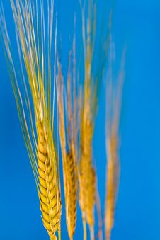 Wheat In The Summer And Blue Sky. Stock Photo