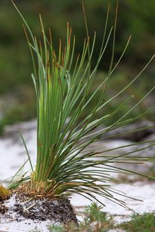 Long Leaves Grass Royalty Free Stock Image