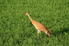 Free Sandhill Crane Royalty Free Stock Photos - 14869848