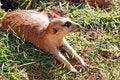 Free Meerkat Mongoose Royalty Free Stock Photos - 14870178