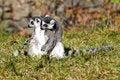 Free Lemurs Royalty Free Stock Photo - 14871515