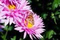 Free Chrysanthemum Stock Photo - 14871920