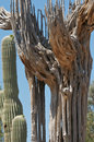Free Tall Saguaro Skeleton Stock Image - 14872941