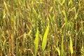 Free Wheaten Field Stock Photography - 14876242