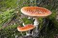 Free Red Mushroom Stock Photos - 14876713