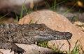 Free Young Crocodile Stock Image - 14879051