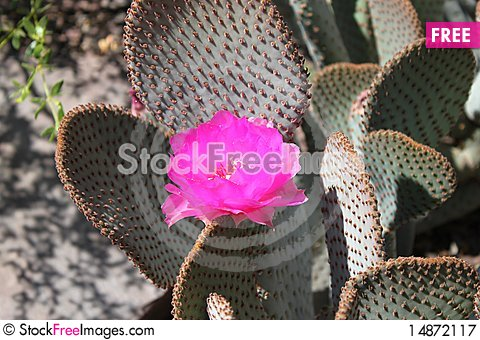 Free Cactus Bloom Royalty Free Stock Photography - 14872117