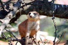Free Meerkat Mongoose Stock Photos - 14870163