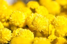 Free Chrysanthemum Royalty Free Stock Image - 14870286