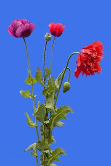 Free Poppies On Blue Background Stock Photography - 14870622