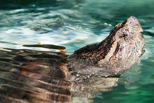 Aligator Snapping Turtle Portrait Stock Image