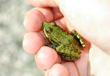 Frog In Hand Royalty Free Stock Image