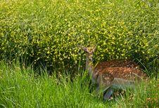 Free Fallow Deer Among Yellow Flowers Royalty Free Stock Photos - 14871498
