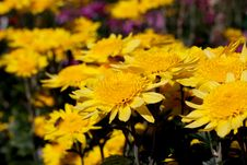 Free Chrysanthemum Royalty Free Stock Image - 14871926