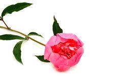 Free Peony Flower On White Royalty Free Stock Photos - 14872148