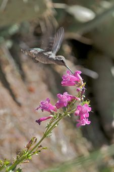 Free Hummingbird In Flight Stock Images - 14872924