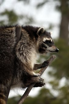 Free Raccoon In A Tree Royalty Free Stock Image - 14873706