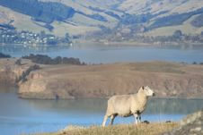 Free Sheep With A View Stock Photos - 14873963
