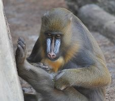Free Mandrill Royalty Free Stock Photo - 14874235