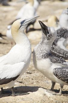 Free Australian Gannets Stock Photography - 14874342
